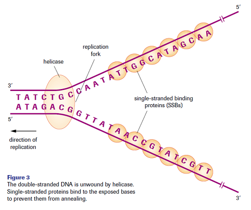 Dna Replication Protein Dna Replication